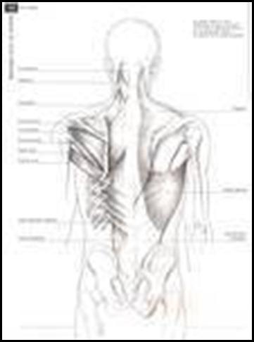 Source de l'image : l'anatomie pour les artistes